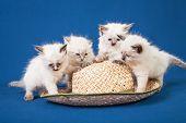 stock photo of masquerade  - Four little Neva masquerade kittens on blue background - JPG