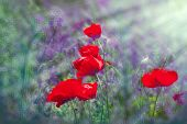 stock photo of poppy flower  - Poppy flowers made with color filters - JPG