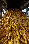 stock photo of corn cob close-up  - Wide angle shot of a barn full of corn cobs - JPG