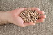 image of pinto bean  - Man holding a handful of dried pinto beans displayed in his palm a variety of kidney bean with a mottled skin popular in the United States overhead view - JPG