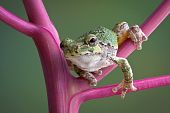 Tree Frog On Pokeweed Stems