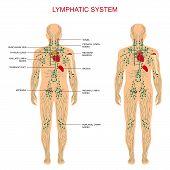 Постер, плакат: lymphatic system