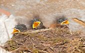 stock photo of swallow  - Three hungry young swallows screaming and calling for her mother - JPG