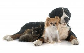 stock photo of coon dog  - maine coon cat chihuahua and bernese mountain dog in front of white background - JPG