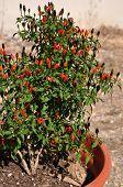 Parsons Pepper Flower