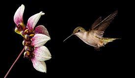pic of hummingbirds  - Hummingbird  - JPG