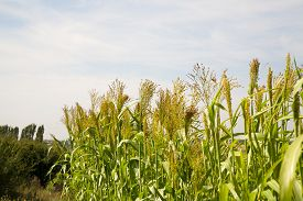 foto of millet  - Millet is used as food fodder and for producing alcoholic beverages - JPG