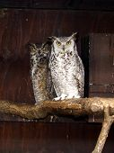 stock photo of owl eyes  - Owl pair - JPG