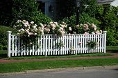 picture of climbing rose  - Pale pink roses climbing up and over a white fence in summer - JPG