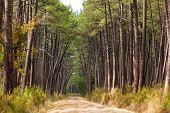 European Pine Tree Forest