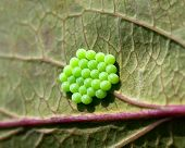 Common Green Shield Bug Eggs