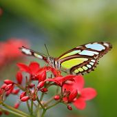 Sipoetra Stelens Or Malachite Butterfly