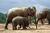 Elefant Family In Open Area