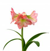 picture of belladonna  - blooming amaryllis in ceramic pot isolated on white background - JPG