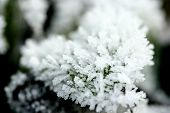Close up : Small green leaves covered in heavy frost