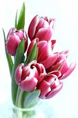 A pretty bunch of variegated red and white tulips in a crystal vase isolated on white