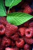 A punnet of freshly picked raspberries with a stalk of leaves