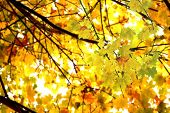 Looking up at the tree canopy showing bright autumn leaves in bright color just before falling to th