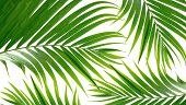 Tropical palm fronds against white backdrop.