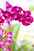 Closeup of red dendrobium orchid outdoor.