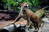 Bela espécime de jaguar jovens saudável em cativeiro no jardim zoológico.