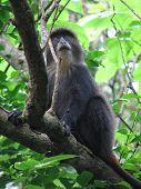 Blue Sykes Monkey