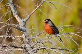 American Robin Sits On A Bench