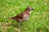 foto of brown thrush  - A friendly song thrush in an English garden - JPG