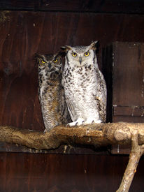 foto of owl eyes  - Owl pair - JPG
