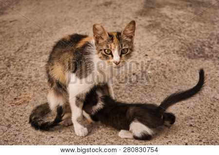 poster of Cat Mom Feeding Her Baby Kitten. Stray Cat Image Of A Tabby Cat And Her Cute Little Kitty Girl.