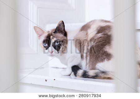 poster of Thai Cat Blue Eyed Lying On House Stairs Look At Camera. Cat Pictures, Cat Eyes, Pictures Of The Mos