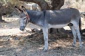 Grey and white donkey tethered by a tree in a field on the Greek island of Meganissi.
