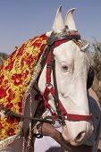 White Marwari Stallion