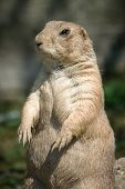 The European Ground Squirrel (spermophilus Citellus), Also Known As The European Souslik. poster