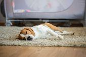 Purebred Beagle Dog Lying On Carpet Floor In Living Room poster