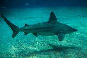 Sandbar shark (Carcharhinus plumbeus). Tropical fish. poster