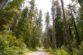 road going through redwood forest