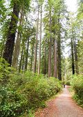 trail through redwood forest