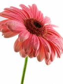 image of gerbera daisy  - Pink gerbera daisy isolated on a white background - JPG