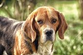 Cute Pet On Sunny Day. Dog With Long Ears On Summer Outdoor. Beagle Walk On Fresh Air. Companion Or  poster