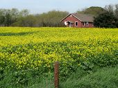 Mustard Field and a Red House