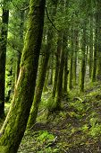 azores rain forest at s miguel island