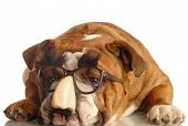 English Bulldog With Grocho Mark Glasses