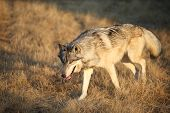 pic of north american gray wolf  - Adult Male North American Gray Wolf in Montana - JPG
