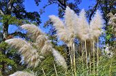 White Pampas Ornamental Grass