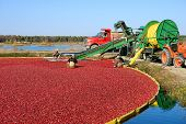 Workers In Bog For Cranberry Harvest In New Jersey