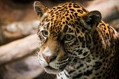 Leopard With Eyes On The Prize