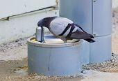 Thirsty Pigeon