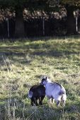 stock photo of pygmy goat  - Two adorable baby pygmy goats side by side - JPG
