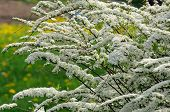 pic of meadowsweet  - A beautiful sunlit spiraea  - JPG
